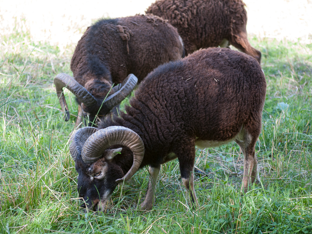 British Soay rams