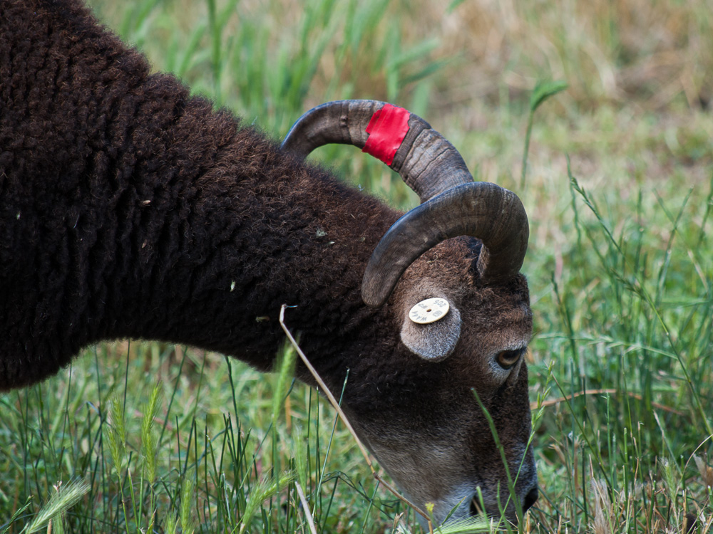 Adult British Soay Ewe